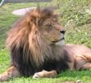 Ölands djurpark lejon