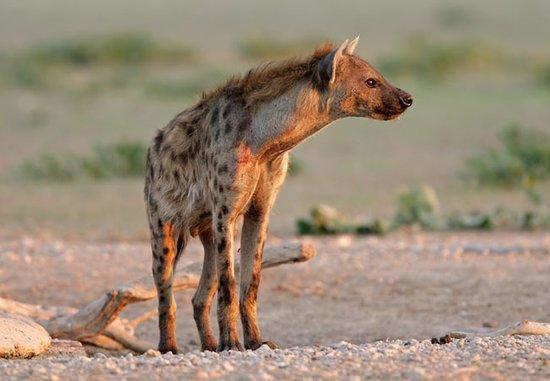 hyena valp